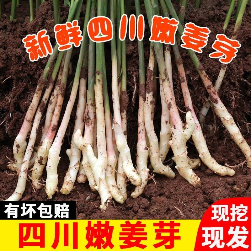 新鲜嫩姜鲜姜4斤紫姜生姜仔红芽姜四川子姜醋泡腌竹生鲜蔬菜姜。