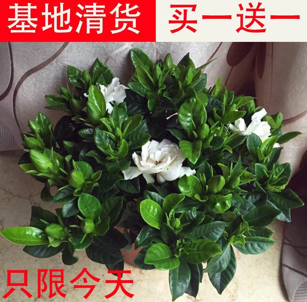 青嘴栀子浓香型小叶盆栽四季开花大棵客厅水培花卉植物室内。图片