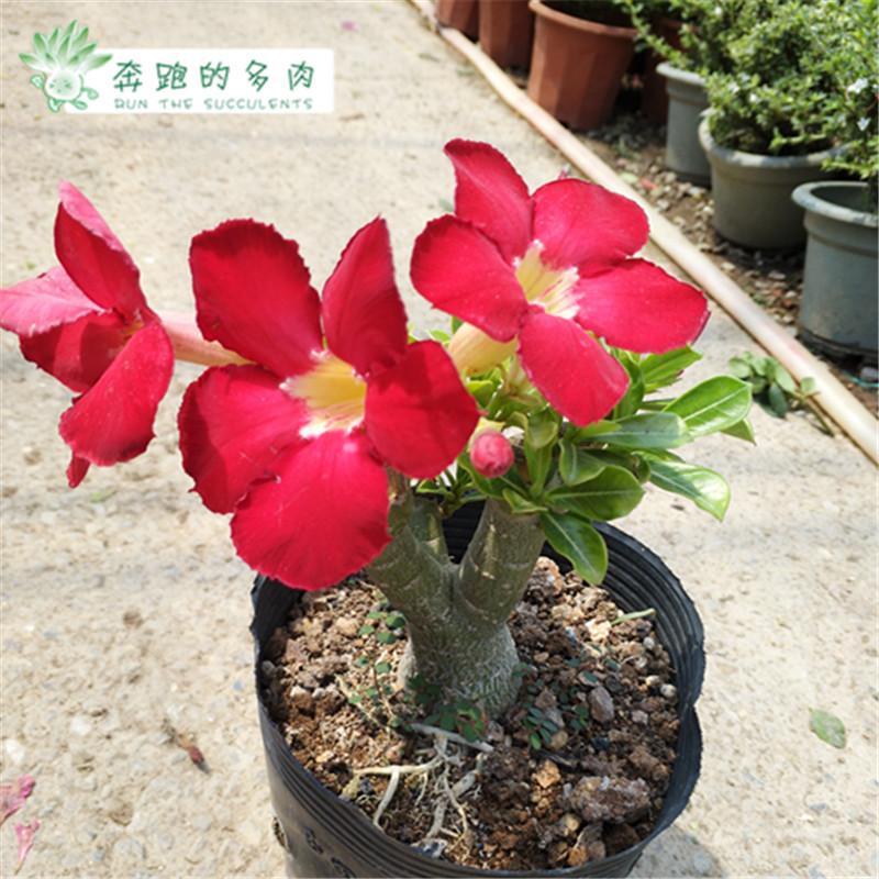 沙漠玫瑰苗带花室内植物单大苗盆栽花卉版四季开花奔跑的多肉