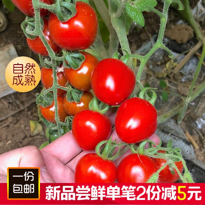 千禧圣女果小番茄新鲜现摘现发樱桃小柿子西红柿孕妇水果5斤包邮