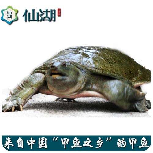 仙湖有机甲鱼 5年野外生长汉寿甲鱼2斤生态中华鳖鲜活团鱼水鱼