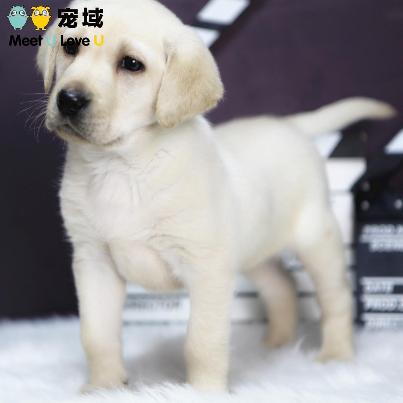纯种奶白色拉布拉多犬幼犬拉不拉多活体宠物狗狗重庆实体店