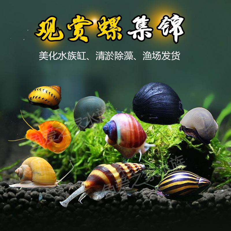 观赏螺苹果神秘黄金斑马洋葱活体螺黑金刚彩蛋螺清洁除藻工具螺