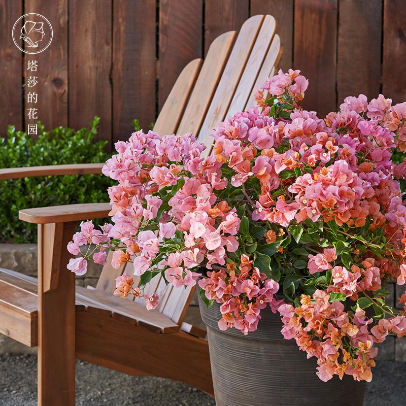 塔莎的花园三角梅花卉大苗盆栽爬藤植物阳台庭院花卉重瓣带花四季