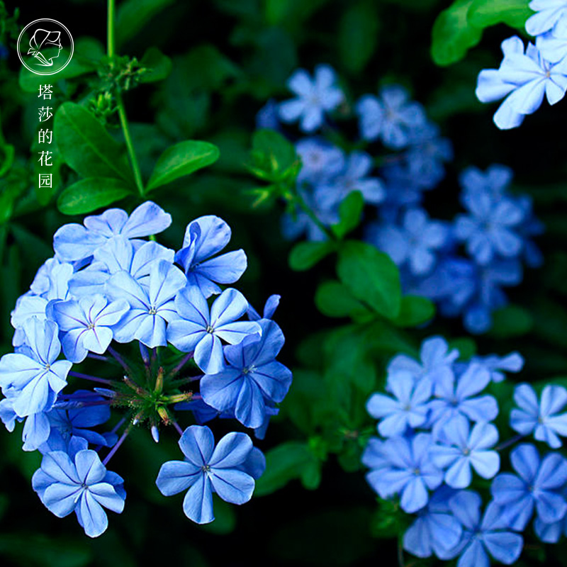 塔莎的花园 蓝雪花盆栽花苗花期长四季好养室内阳台庭院花卉包邮