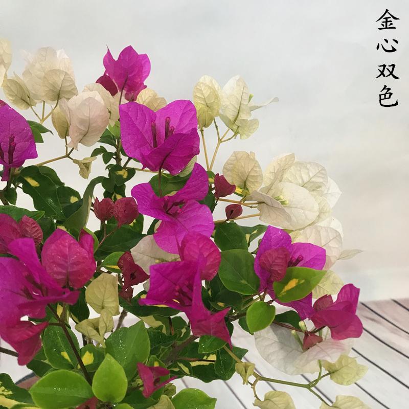 三角梅盆栽花卉四季开花大苗庭院绿植爬藤植物带花发货包邮