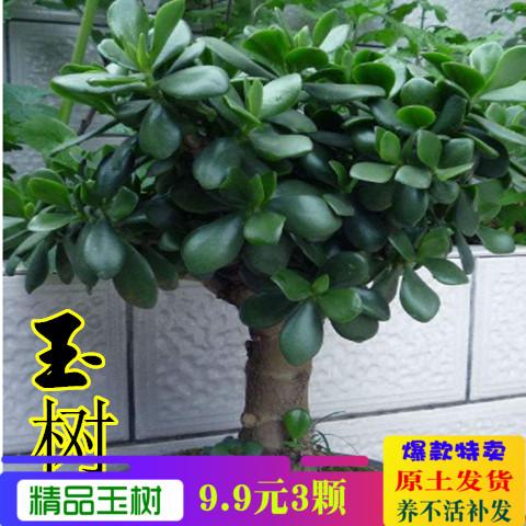 玉树盆栽苗老桩大叶玉树花植物多肉燕子掌室内客厅绿植花卉包邮