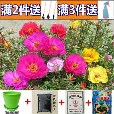 重瓣太阳花混色种子室内阳台花卉盆栽花籽庭院四季种易活开花不断