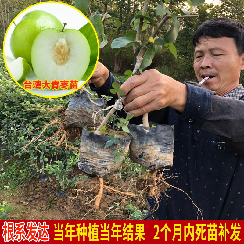 台湾の大きい青いナツメの接ぎ木は苗の鉢植えをして特大なナツメの果物の苗の南方の北方の果樹の苗を植えますその年の結果
