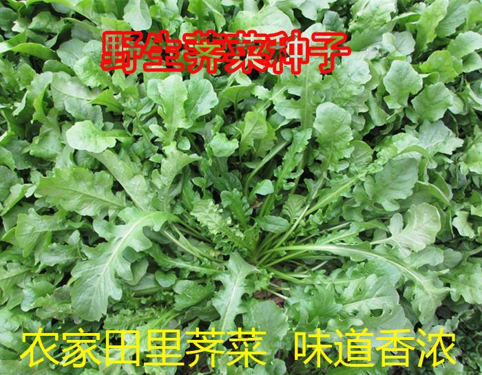 四季野生荠菜种子四季播大叶荠菜农家田里野菜种子阳台田园蔬菜