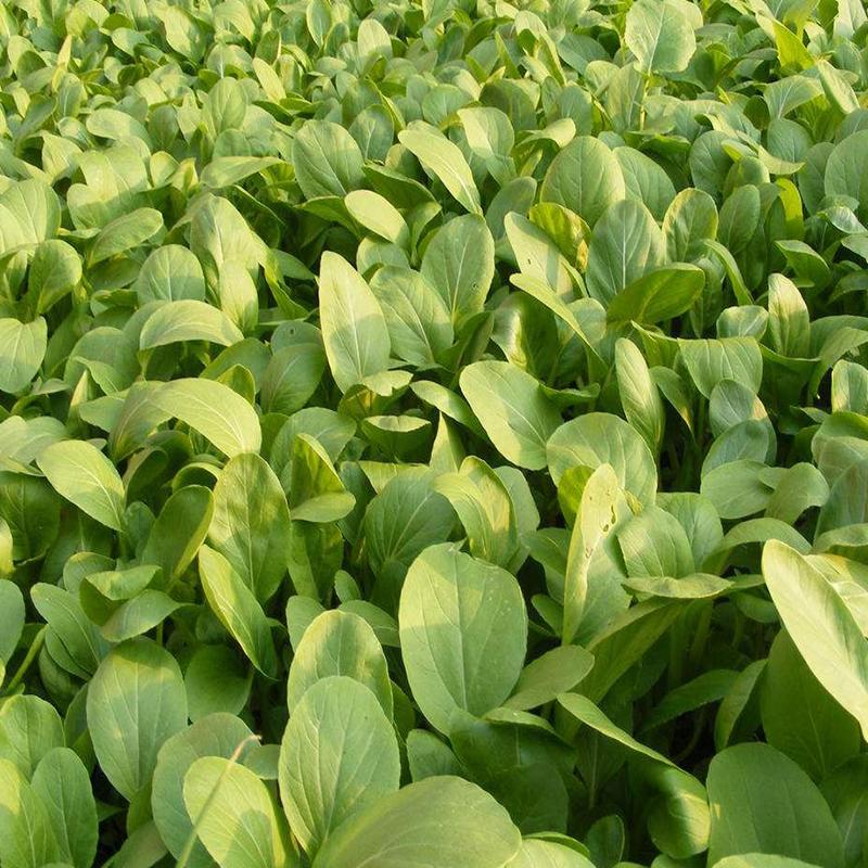 油菜种子四季小白菜青菜种籽春季播种菜籽种大全农家鸡毛菜蔬莱孑