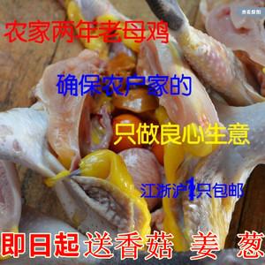 正宗土雞農家散養2年老母雞蘇北草雞自養活雞現殺 月子雞笨雞烏雞
