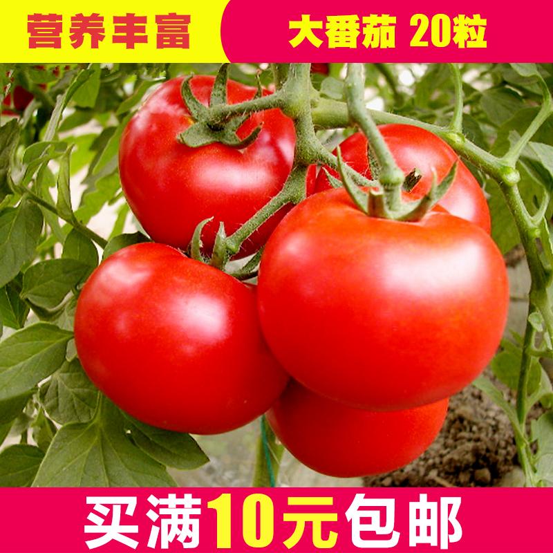 大番茄种子 西红柿种子有机蔬菜种子 番茄籽 阳台庭院四季易种