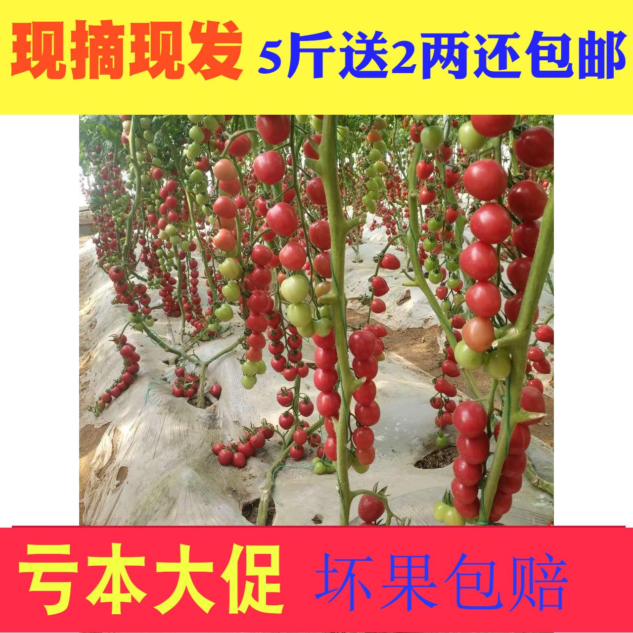 【货不断】千禧番茄时令水果小柿子樱桃小西红柿  新鲜千禧圣女果