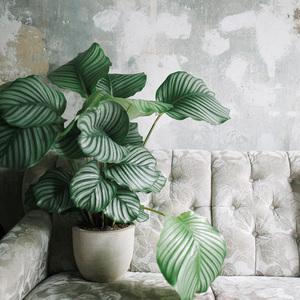 竹芋 观叶植物喜阴植物绿植室内盆栽水培植物净化空气 青苹果竹芋