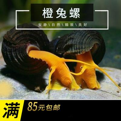 印尼苏拉威西螺苏螺橙兔螺观赏螺活体宠物螺活体水族草缸除藻除苔