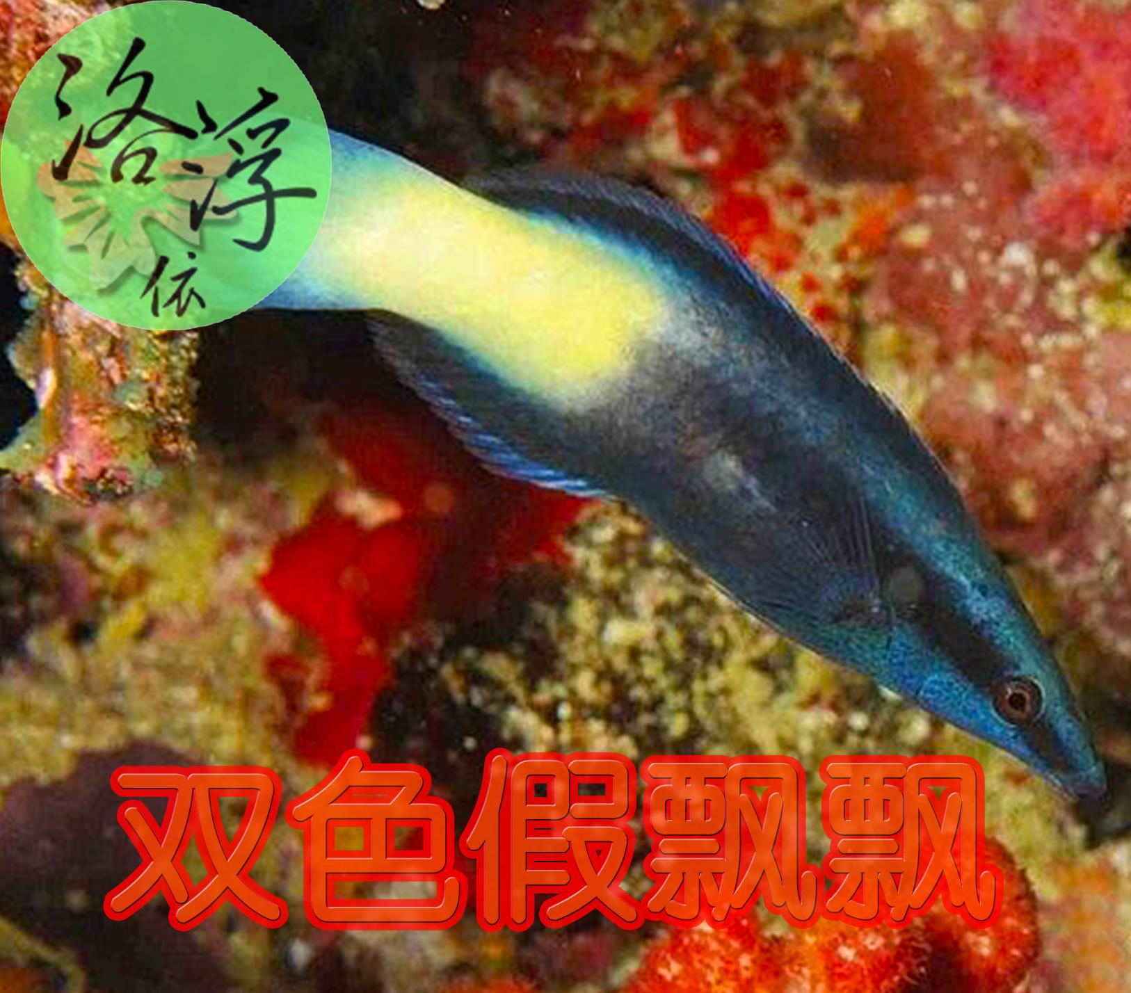 Двойной цвет ложный поплавок поплавок морская вода рыба живая тело большой глава рыба кроме насекомое эксперт температура спокойный легко подача поддержка не больно коралловый