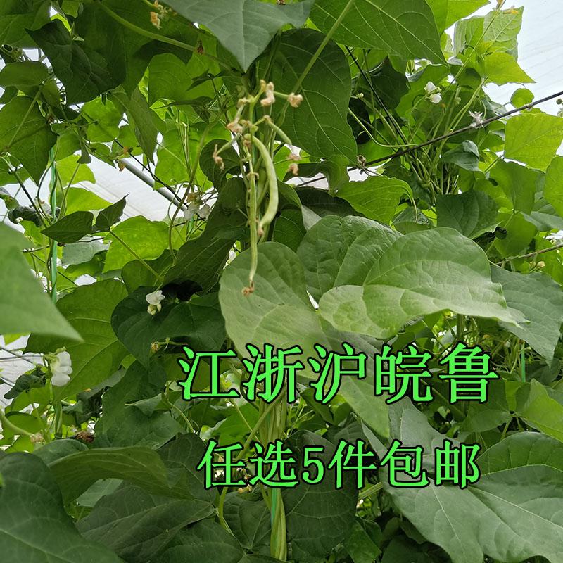 白不老豆角新鲜蔬菜架豆芸豆角肉厚排骨炖豆角500g现摘发货