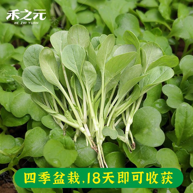 鸡毛菜菜籽上海青菜大全孑菜种籽