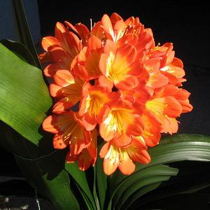 绿植花卉君子兰5年苗盆栽室内净化空气美根系发达观花植物