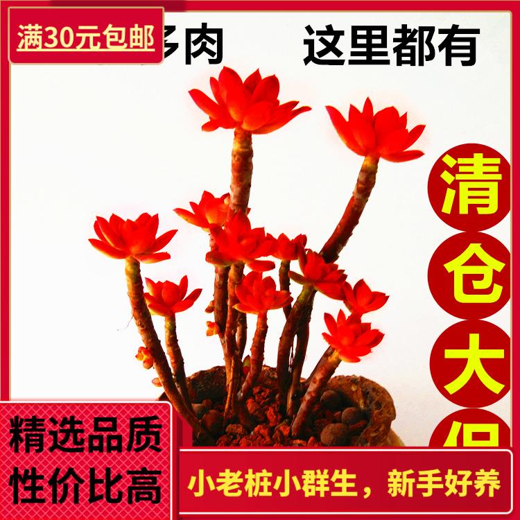 新手好养小老桩群生多头多肉植物巨型多肉吸甲醛防辐射趣味花卉