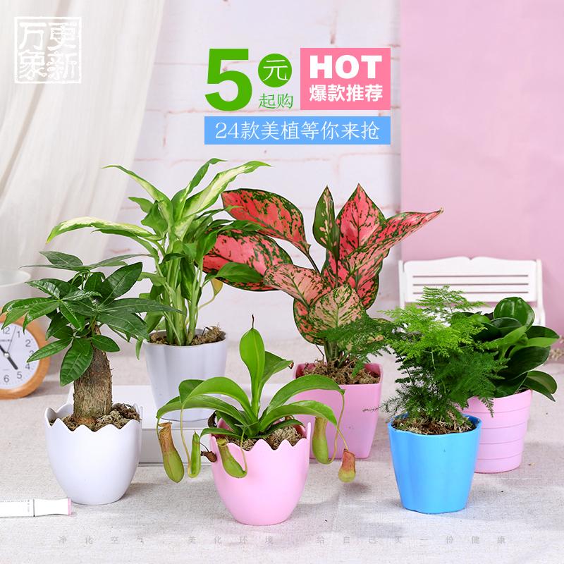 万象更新花卉盆栽发财树绿萝多肉植物新手植物盆栽 室内水培绿植