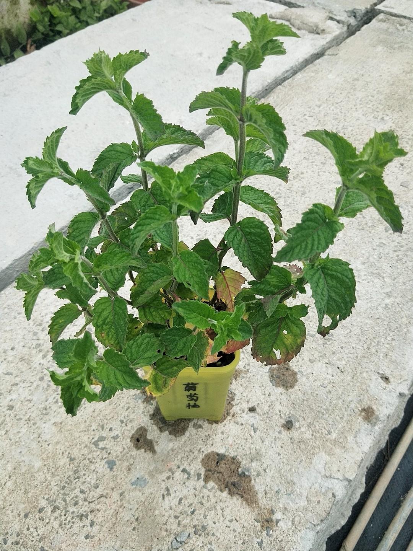 食用香草苗【葡萄柚薄荷】多年生桌面小盆栽绿植好养 可驱蚊 泡茶