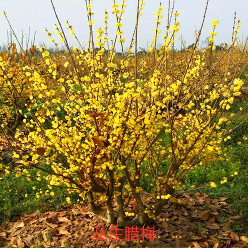 耐寒澳洲腊梅花树苗丛生盆栽大型棒棒糖嫁接素心腊梅树庭院地栽苗
