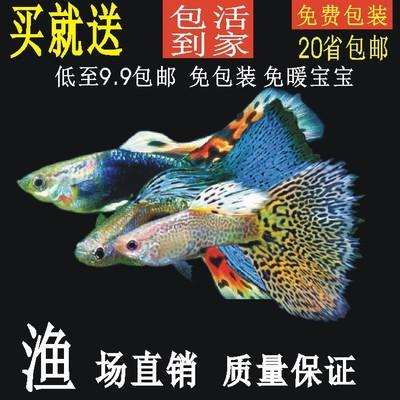 孔雀鱼纯种鱼活体斑马好养宠物鱼胎生凤尾鱼淡水小型热带鱼观赏鱼