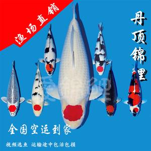 正宗日本丹顶锦鲤丹顶三色五色孔雀鸿运当头鱼苗 观赏鱼活体包活