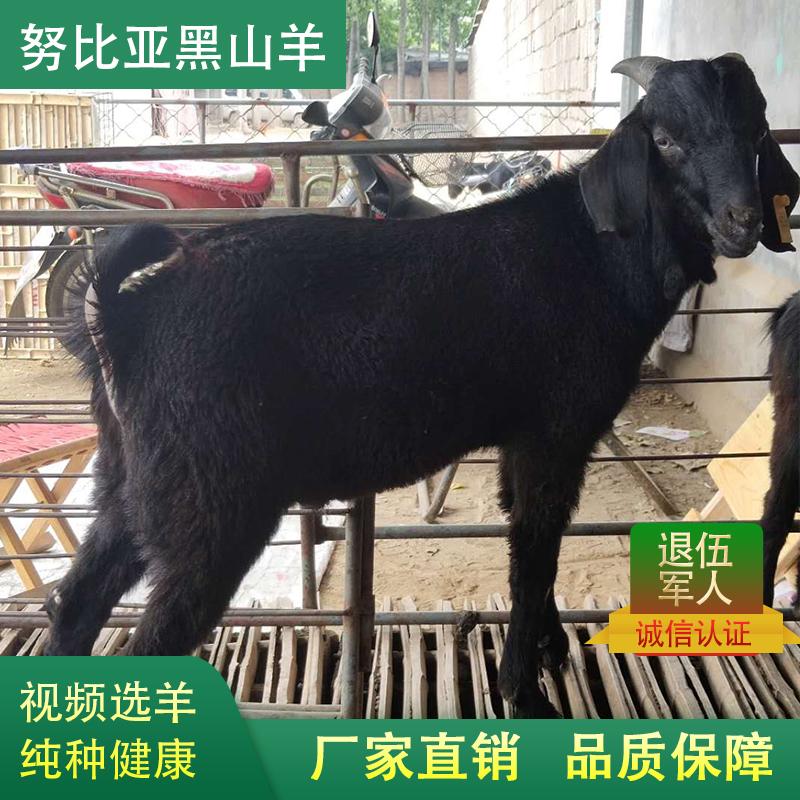 黑山羊活体小羊羔纯种努比亚黑山羊活羊怀孕母羊成年黑山羊种公羊
