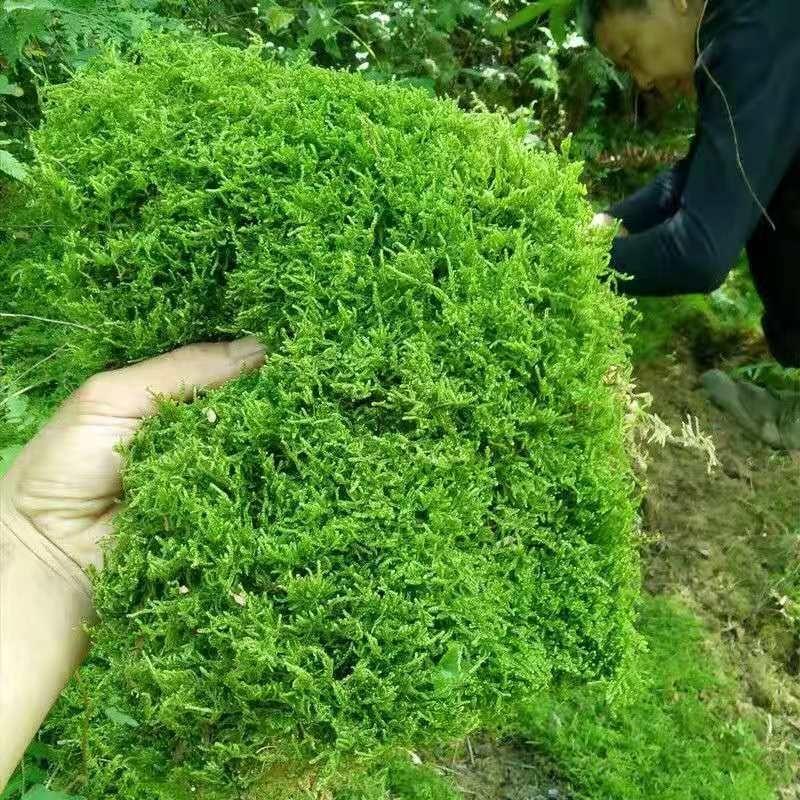 緑の植木鉢の緑のコケの天然の青い台のコケの植物は一面の草花になって放射線防止の造景の室内の雪水の築山を防ぎます。