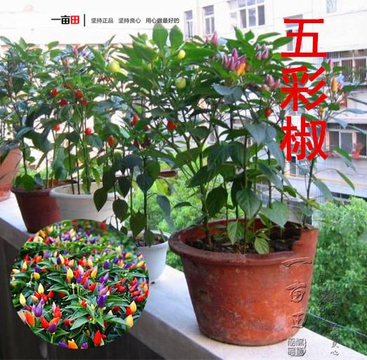 五彩椒辣椒种籽五彩观赏椒食用种子(非品牌)