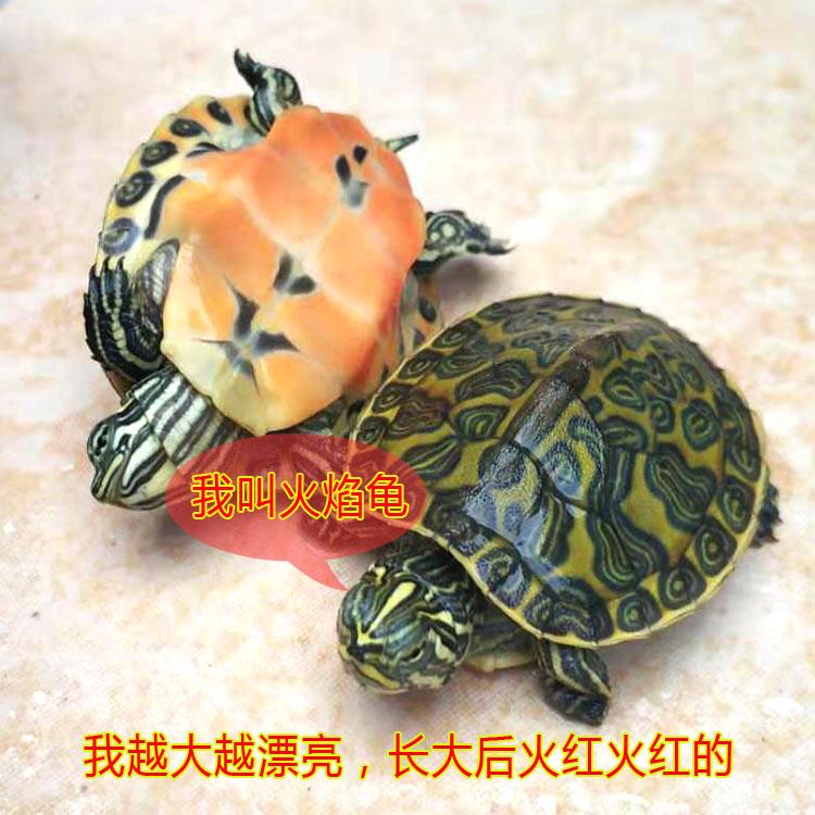 乌龟活体小宠进口红腹火焰龟活物深水龟观赏龟苗一对招财龟情侣龟