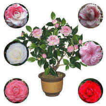 Exquisite Camellia Miaoshan Camellia potted seedlings four season green plants flowers garden balcony rose Peony