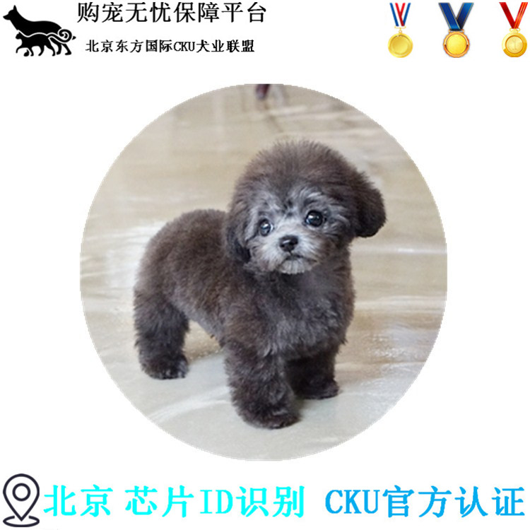 引进韩国双血统纯种茶杯出售贵宾泰迪幼犬狗狗?#26412;?#21608;边可送货上门