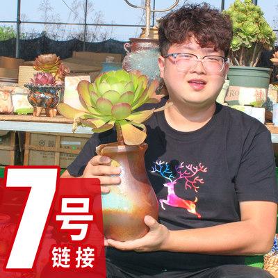 【滕滕】船长多肉植物云南多肉 正在直播(7号链接)
