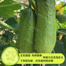 Guifeicui fruit, cucumber seed, dry cucumber seed, spring and autumn seasons, farmhouse vegetables, raw, crisp and sweet, yard package