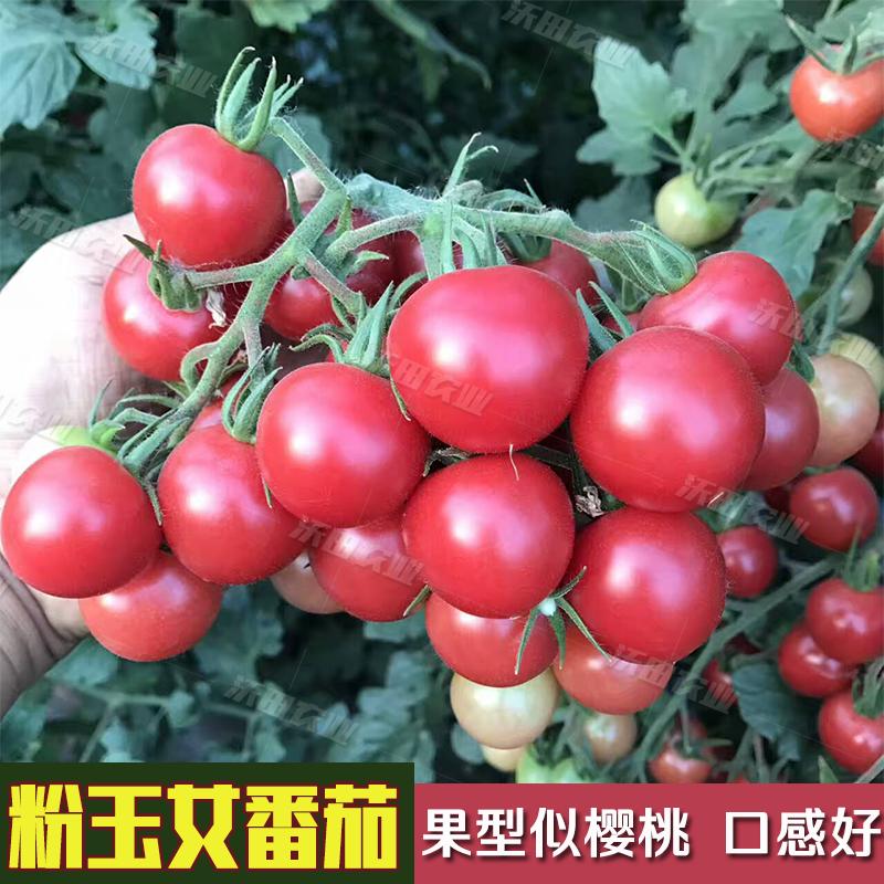 四季蔬菜进口粉玉女小番茄种子樱桃小西红柿圣女果种子番茄苗包邮