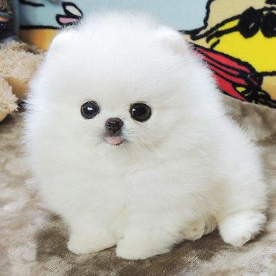 出售纯种博美犬幼犬活体长不大泰迪茶杯犬俊介小型犬家养宠物狗狗