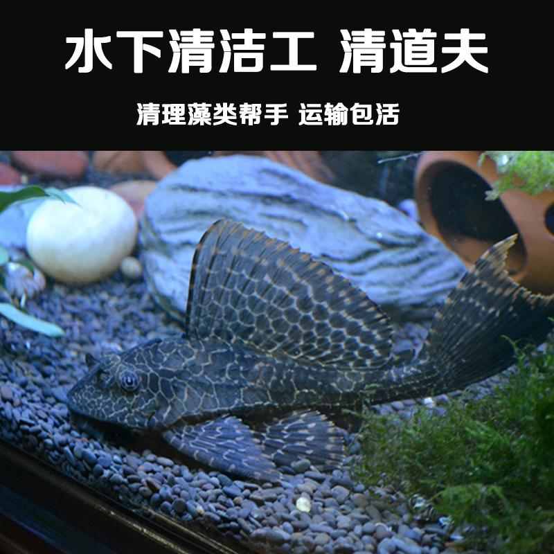 Холодная вода чистый мусор рыба живая тело часы награда золотая рыбка цилиндр тропический инструмент рыба рыбки кои рыба осетр рыба ясно дорога муж бесплатные почтовые