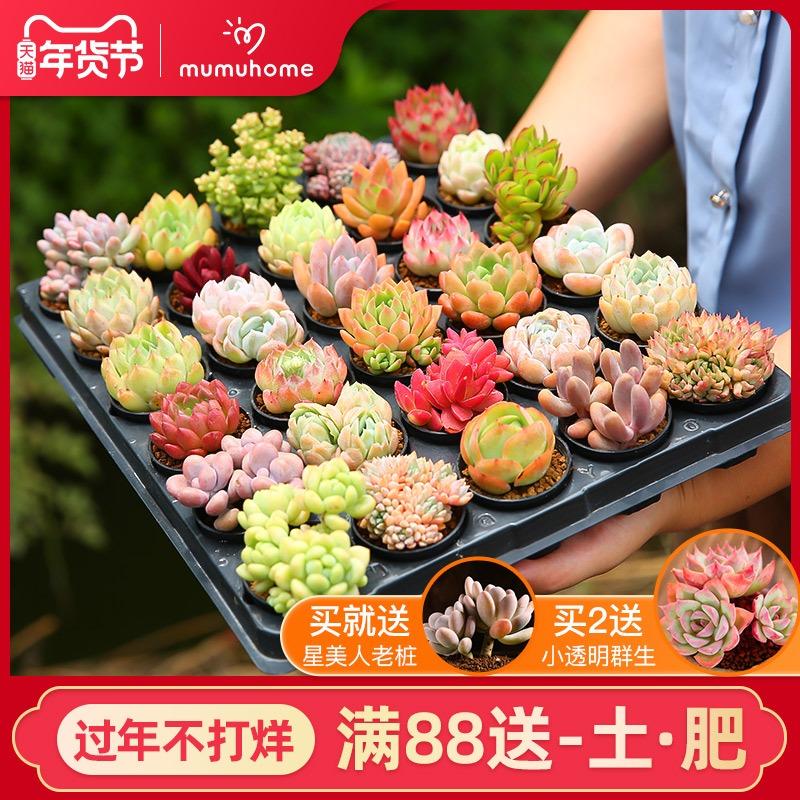 云南直发多肉植物组合新手套餐肉肉植物室内花卉盆栽不含多肉花盆