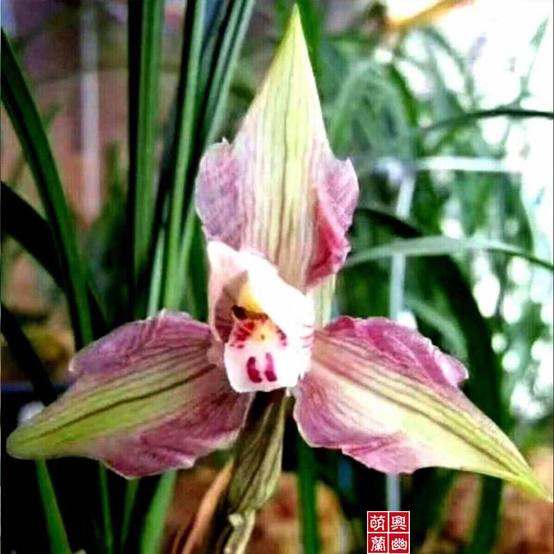 貂蝉春兰兰花苗原生种名品办公室室内外名贵兰草浓香花卉植物盆栽