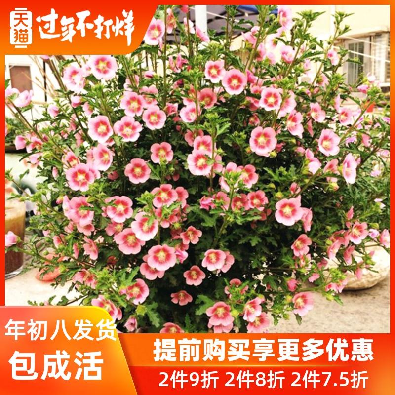 室外花卉庭院绿植阳台花苗 小木槿花 盆栽花卉多季开花花园植物