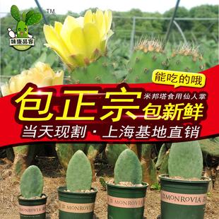 可食仙人掌 食用 药用 美容灌肤 外用内服 正宗墨西哥米邦塔植物