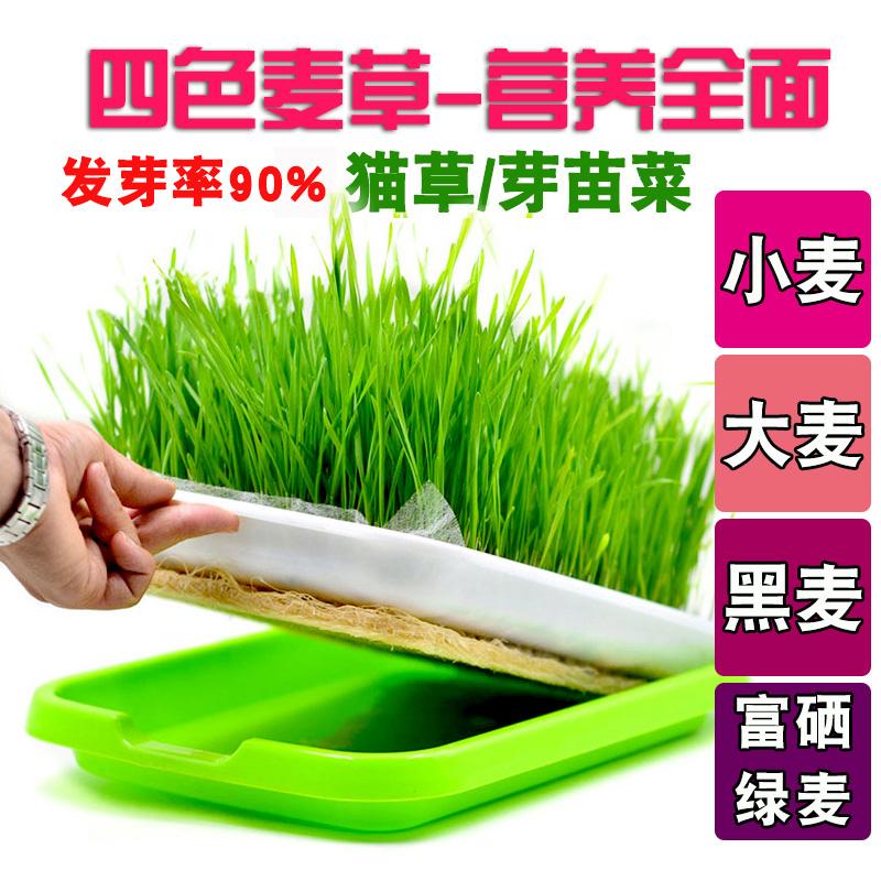 四色麦草猫草芽苗菜种子发芽吃苗四季绿色水培蔬菜籽人和宠物均可