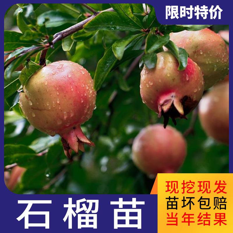 ザクロの苗木を遊ぶ果物の木の盆栽苗を植える庭の果樹は南北の四季にわたって栽培しやすいです。