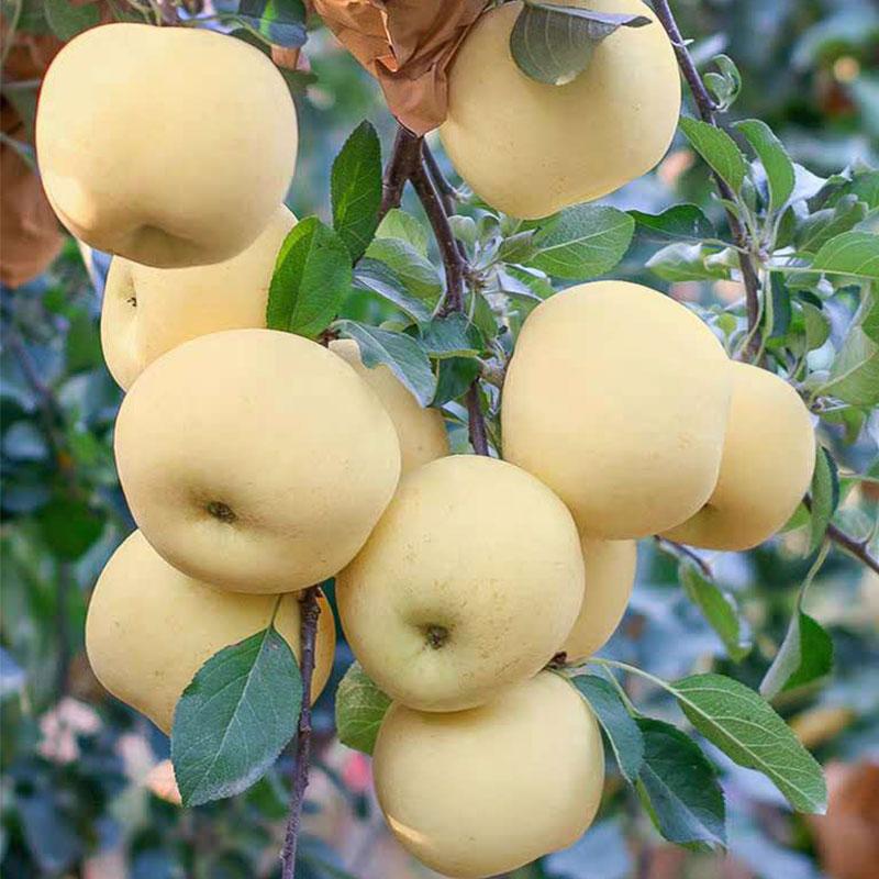 山東煙臺黃金奶油富士蘋果10斤新鮮水果棲霞牛奶包郵特產整箱平果