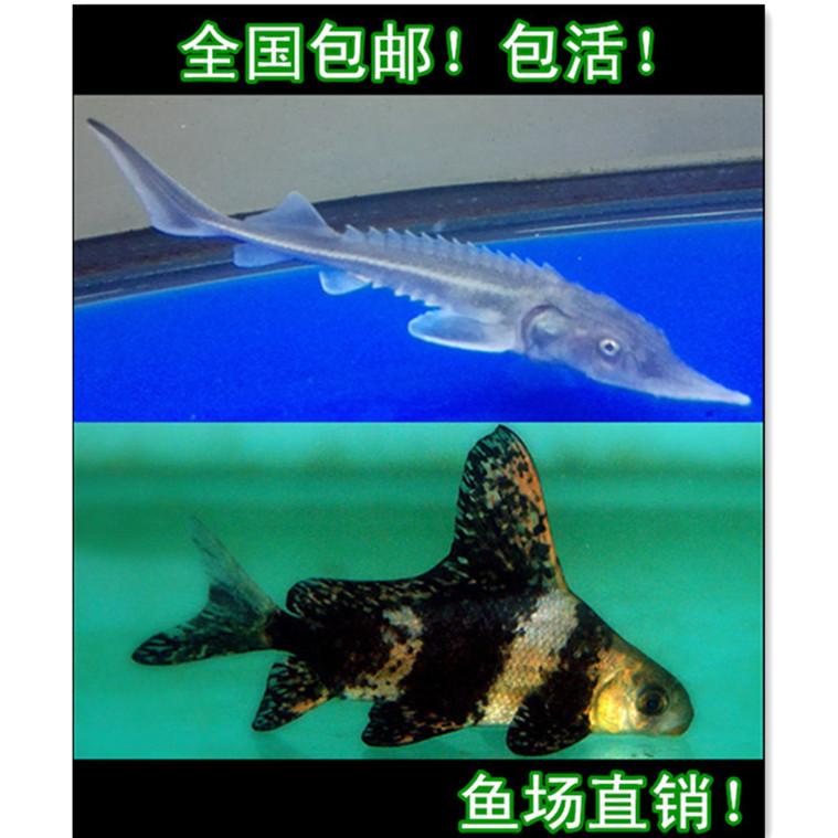观赏鱼一帆风顺鲟鱼活体冷水清道夫工具鱼锦鲤金鱼活体鲟龙鱼西鲟