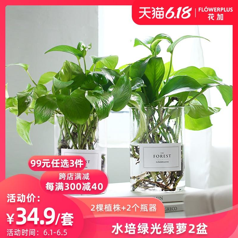 FlowerPlus花加水培绿光绿萝盆栽绿植室内客厅除甲醛净化空气包邮